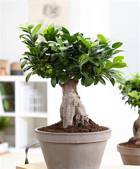 koop nu kamerplant bonsai ficus  ginseng bakkercom