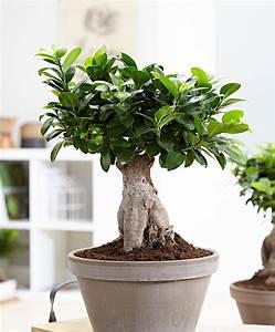 Ficus Ginseng Kaufen : kaufen sie jetzt zimmerpflanze bonsai ficus m 39 ginseng 39 ~ Sanjose-hotels-ca.com Haus und Dekorationen