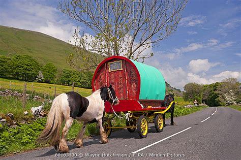 minden pictures stock  horse irish  gypsy