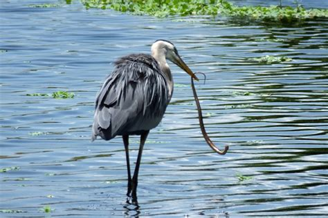 fascinatingly fabulous facts   great blue heron