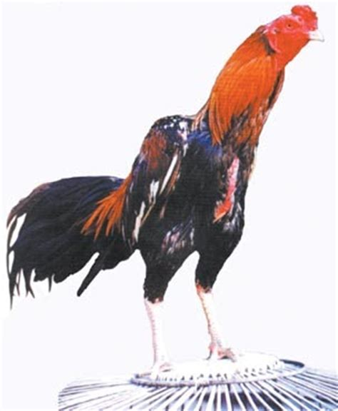 tips dan cara merawat ayam siam ayam laga 1234