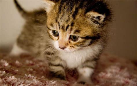 gambar wallpaper keren koleksi gambar kucing  anak