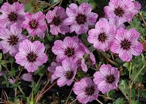 geranium vivace planter et tailler ooreka With modeles de rocailles jardin 7 achillee planter et cultiver ooreka