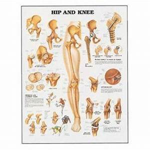 Hip And Knee Human Anatomy Chart Detailed Diagram 20 Quot Wide