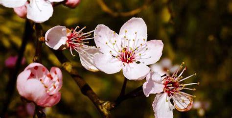 mandorlo da fiore mandorlo propriet 224 coltivazione e caratteristiche