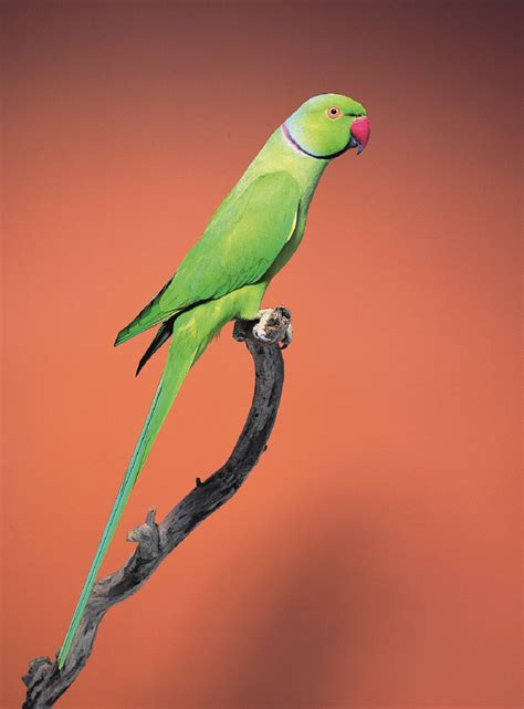 indian ringneck parakeet indian ringneck parakeet animal pest alert agriculture and food