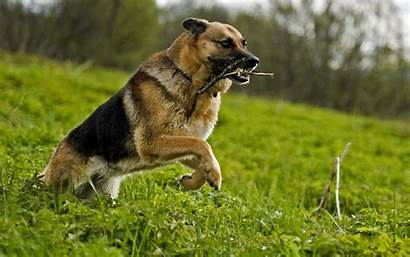 Dog Wallpapers Animal Attack German Shepherd Dogs