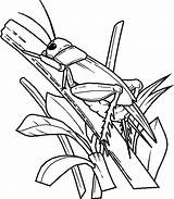 Grasshopper Wings Drawing Coloring Ant Clipartmag sketch template