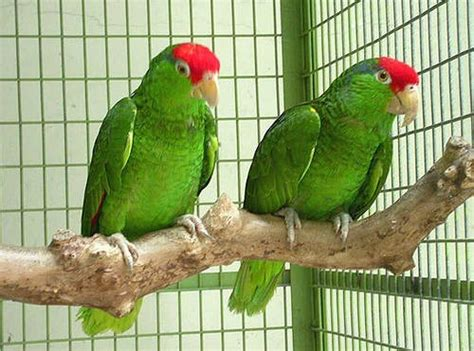 Types Of Lovely Pet Birds As Your Home