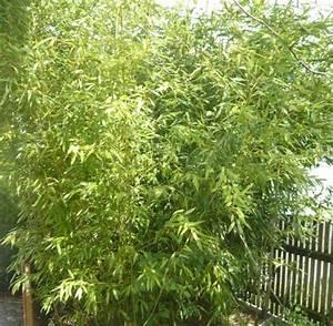 Bambus Im Winter : bambus winterhart ca 4 5 m hoch im k bel bzw mit erdballen in neuching pflanzen kaufen und ~ Frokenaadalensverden.com Haus und Dekorationen