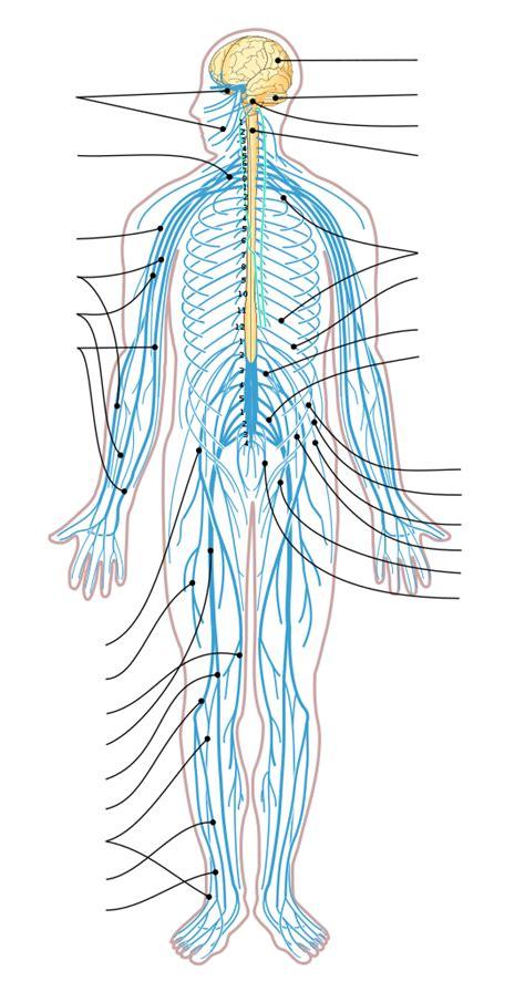 filenervous system diagram arrowssvg wikimedia commons