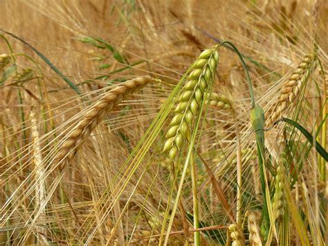 Free photo: Barley, Cereals, Field, Spike   Free Image on Pixabay   502370