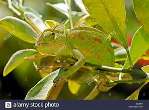 Chameleon  Camouflage Color Pattern Stock Photo