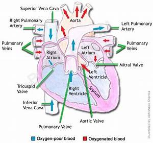 Circulatory System Organs And Their Functions