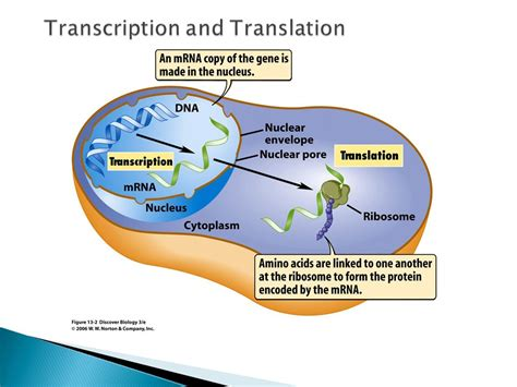 Dna Transcription And Translation The Central Dogma  Ppt Video Online Download