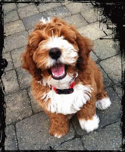 Labradoodle Australian Puppies Colors Google Colored Multi