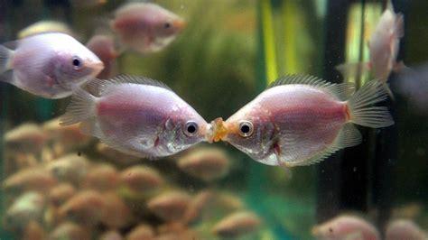 kuessender gurami haltungstipps fuer den exotischen fisch