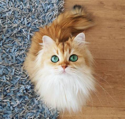 klasifikasi kucing   lengkap kucing pedia