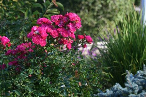 Disease-resistant Roses For The Pacific Northwest ⋆ North Coast Gardening Does Lowes Carry Stainmaster Carpet Specialized Cleaning Greenville Sc Professional Cleaners Portland Oregon R And How To Repair Wrinkles Gulistan Quality Colors Mcnabb Reviews
