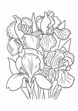 Flower Lily Coloring Pages Iris Printable Sheet Drawing Getcolorings Irises Colo Colorings Drawings sketch template