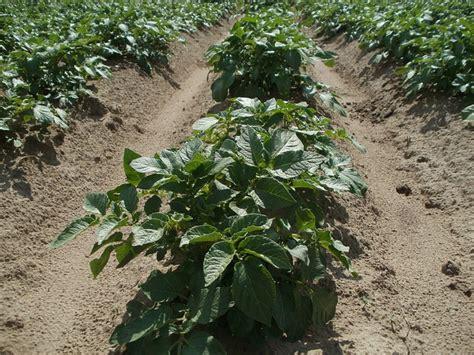 planter les pommes de terre quand et comment