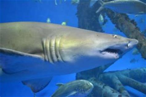 requin d aquarium t 233 l 233 charger des photos gratuitement