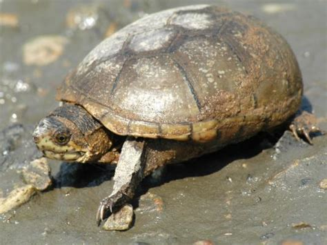 mud turtle eastern mud turtle facts distribution adaptations pictures