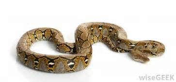 When Do Ball Pythons Shed Their Skin by What Are The Different Types Of Rainforest Species
