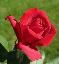 Most Beautiful Red Roses