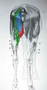 Groin Muscle Injuries  U2013 Anatomy