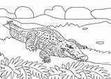 Alligator Coloring Pages Crocodile Cool2bkids Printable Animal Colored sketch template
