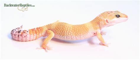 leopard gecko colors most popular leopard gecko morphs