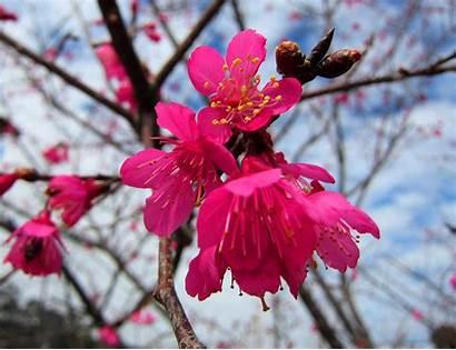 Prunus Bunga Untuk Cantik Campanulata Maxim Giardino