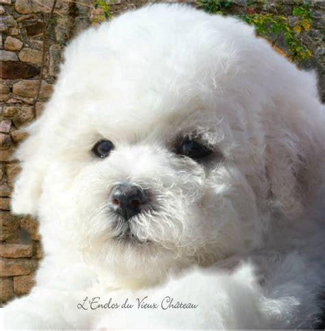 achat vente chien bichon fris 233 lof elevage familial de chiots