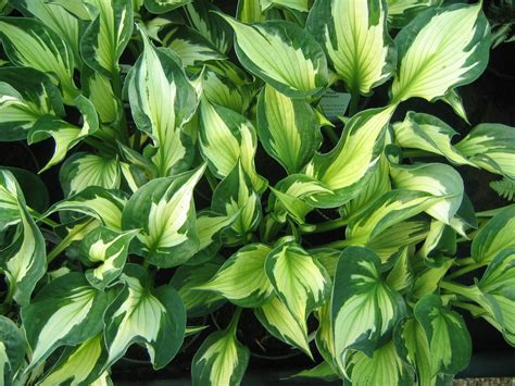 what are hostas plants n gardens
