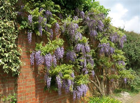 growing wisteria top 28 grow wisteria how to grow prune wisteria wisteria igardendaily training wisteria