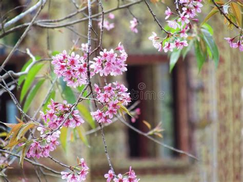 Cherry Blossom Pink Flowers On Tree Branch With Green