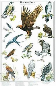 Birds Of Prey Poster And Identification Chart Vol 1