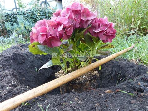 planter des hortensias en pot planter un hortensia
