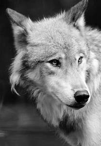 278 best images about Wolf on Pinterest | Wolves, A wolf ...