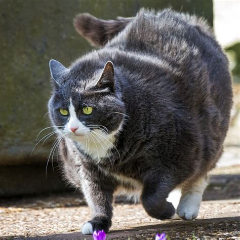 cat fat cats obese kitty obesity catster epidemic feline vet signs feel overweight owners liposuction ask weight shutterstock works