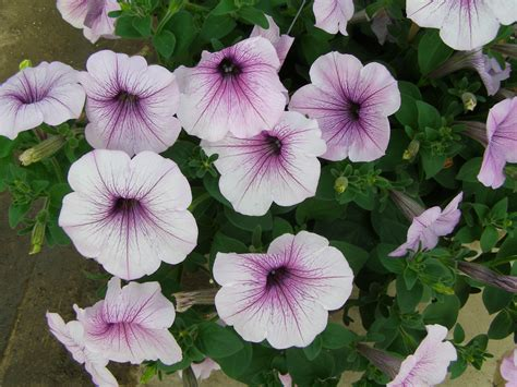 petunia easy wave plum vein pelleted sdswht wellgrow