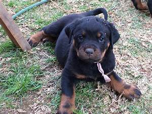 Miadre Female Puppies – Miadre Rottweilers
