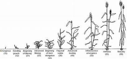 Growth Pattern Grain Cereals Plant Monocots Production