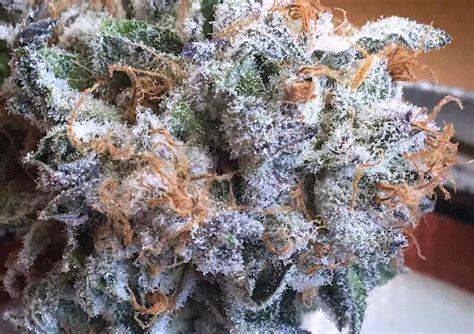 starburst og strain information cannafo marijuana