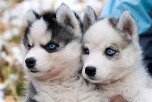 Blue Eyed Huskies | Puppy Love | Pinterest | Eyes, Husky ...