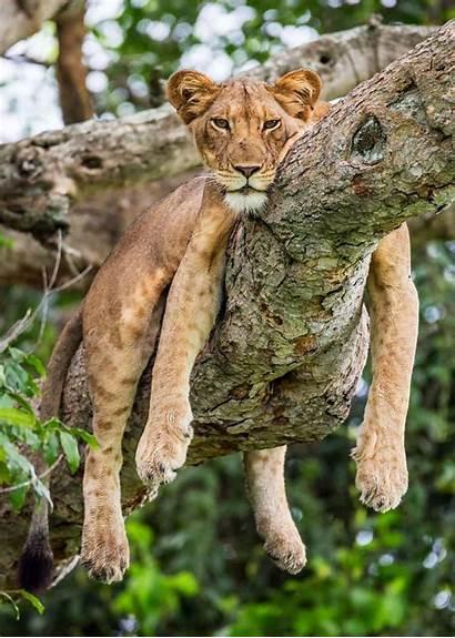 African Lions Lion Endangered Uganda Facts Panthera