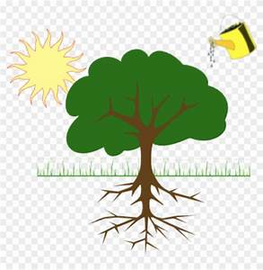 Diagram Showing Plant Growing From Water And Sunlight - Tree Clip Art