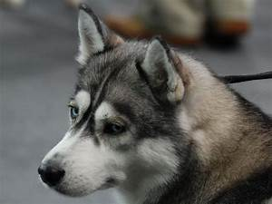Sad Siberian Husky wallpapers and images - wallpapers ...
