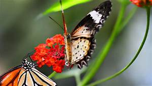 Aleda Costa  Flying Butterfly Backgrounds